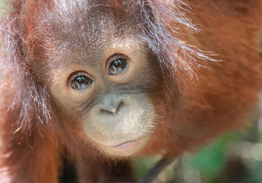 Image of: Rainforest Last Month The Worldfirst Release Of Two Endangered Orangutans Rehabilitated By Humans Took Place In Protected Indonesian Reserve With Help From Borneo Orangutan Survival Australia Orangutans Under Threat Borneo Orangutan Survival Australia
