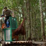 Reintroduction or Translocation into the Wild