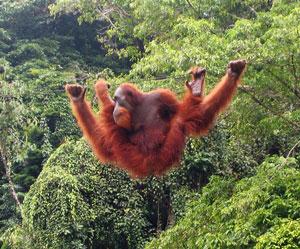 Image of: Critically Endangered Bornean Orangutan Sumatran Orangutan Borneo Orangutan Survival Australia Orangutan Facts Borneo Orangutan Survival Australia