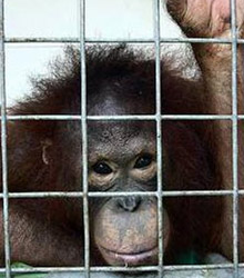 Illegal Pet Trade - Borneo Orangutan Survival Australia