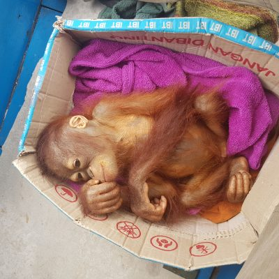 Another Rapid Rescue Mission – Another Orphaned Orangutan