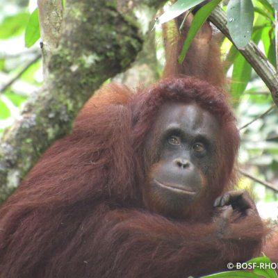 Wild Orangutan Yuniar