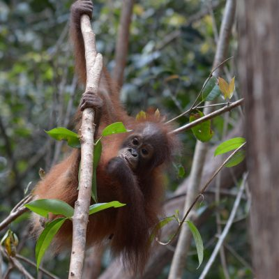 Update on Our New Rescued Orangutans – Hati, Riana and Ecky