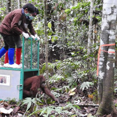 BOSF Celebrates National Education Day With The Release of SIX Orangutans