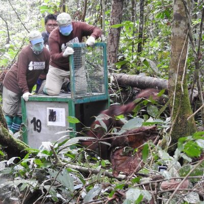Choki and Friends Take Released Orangutan Total to 345