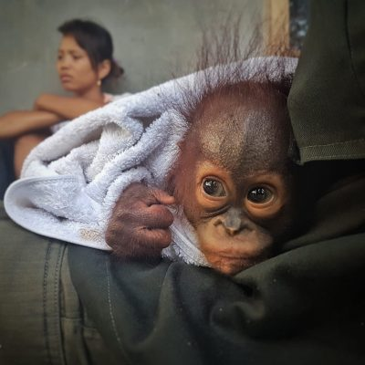 Another Orangutan Baby Comes to Our Rehabilitation Centre
