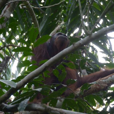 BOS Foundation Celebrates Independence Day with the Release of 100th Orangutan to BBBR National Park