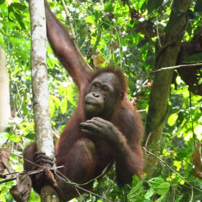 All Six Recently-Released Orangutans Adapting Well to Life in Wild
