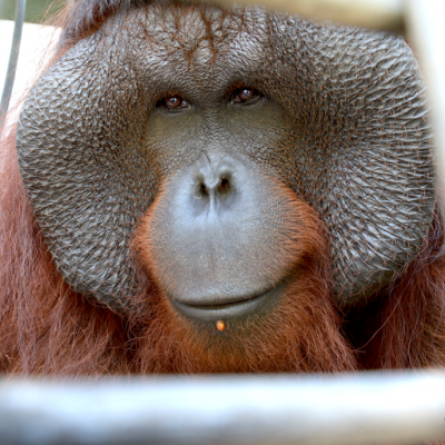 [PRESS RELEASE] Orangutan Sanctuary Island Opened by BOS Foundation with Indonesian Government and Private Sector Partners