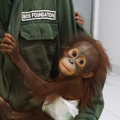 Another baby orangutan rescued